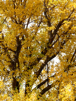 fall-cottonwoods-10281-okres