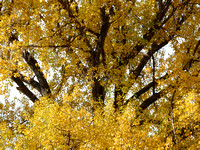 fall-cottonwoods-10282-okres