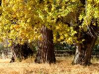 fall-cottonwoods-10274-goodres